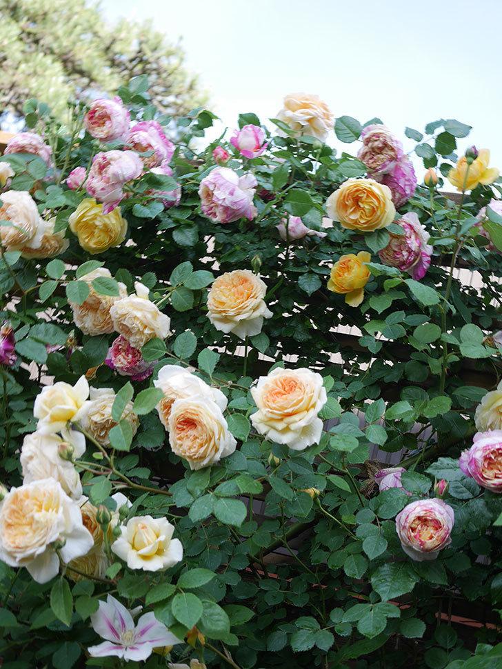 アンドロメダの花がたくさん咲いた。2021年-048.jpg