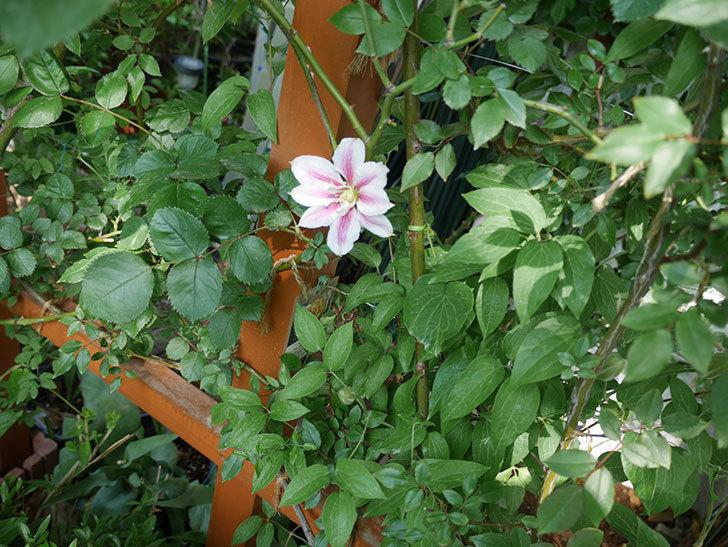 アンドロメダの花が咲いた。2018年-3.jpg
