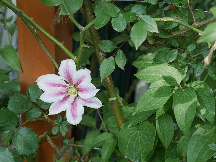 アンドロメダの花が咲いた。2018年-5.jpg