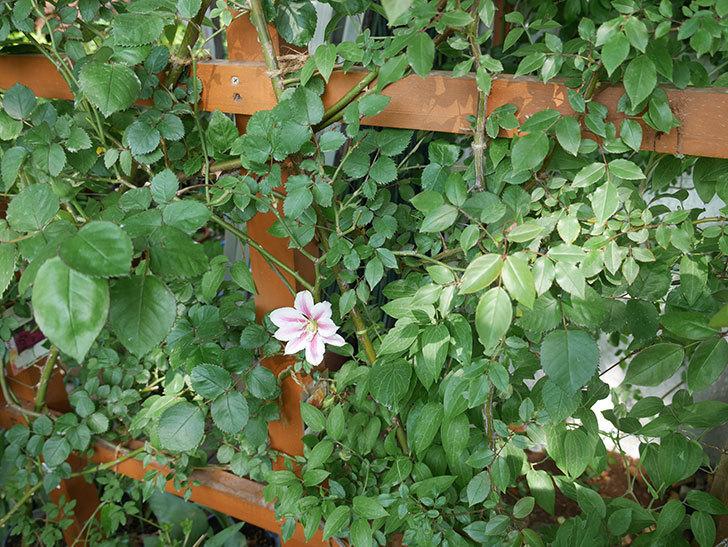 アンドロメダの花が咲いた。2018年-6.jpg