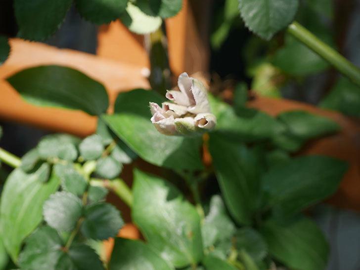 アンドロメダ(早咲き大輪系-パテンス系-新・旧両枝咲き)の花が咲きだした。2020年-3.jpg