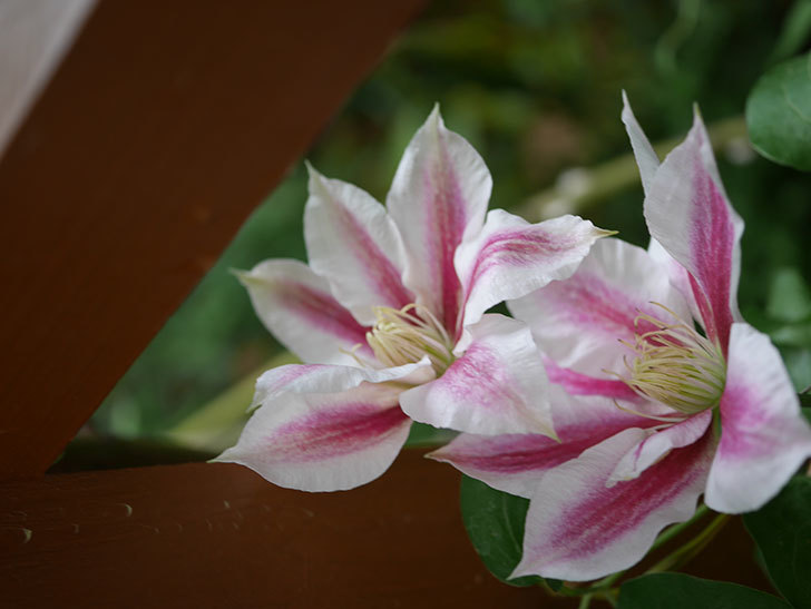 アンドロメダ(早咲き大輪系-パテンス系-新・旧両枝咲き)の花が増えてきた。2020年-2.jpg