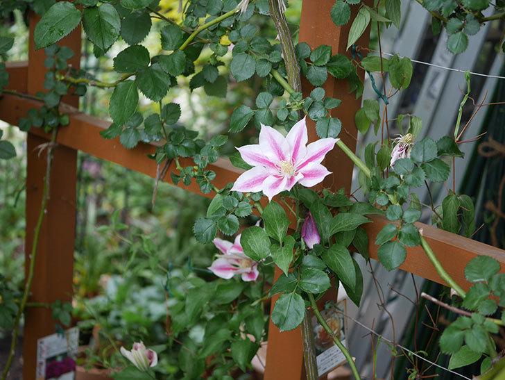 アンドロメダ(早咲き大輪系-パテンス系-新・旧両枝咲き)の花が増えてきた。2020年-3.jpg