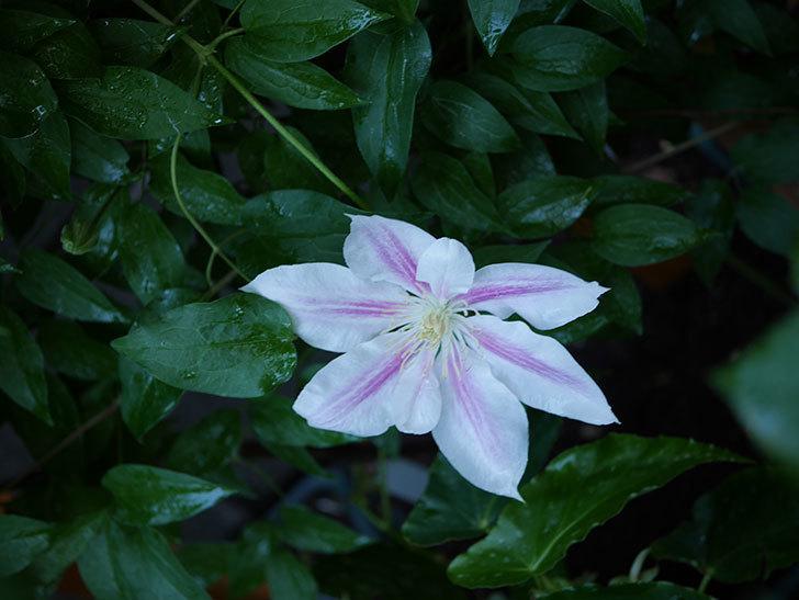 アンドロメダ(早咲き大輪系 パテンス系 新・旧両枝咲き)の花が咲いた。2021年-008.jpg