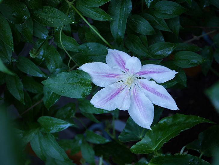 アンドロメダ(早咲き大輪系 パテンス系 新・旧両枝咲き)の花が咲いた。2021年-009.jpg