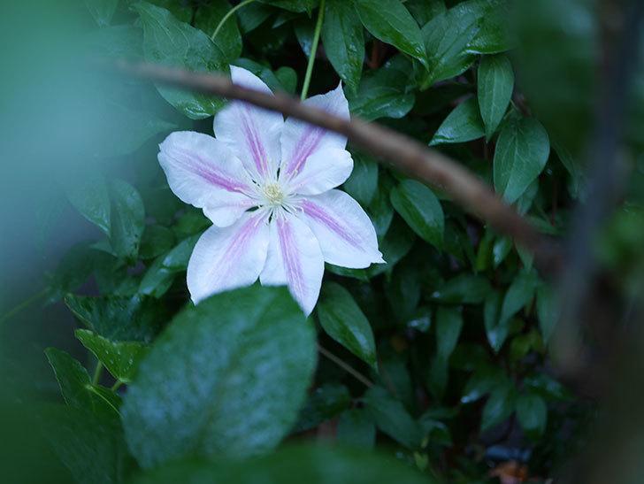 アンドロメダ(早咲き大輪系 パテンス系 新・旧両枝咲き)の花が咲いた。2021年-011.jpg