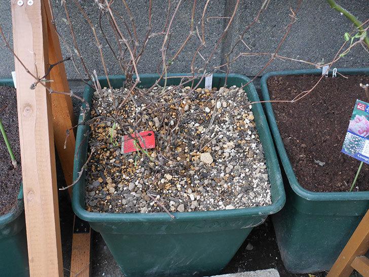 アンドロメダ(早咲き大輪系 パテンス系 新・旧両枝咲き)の鉢植えを誘引した。2021年-001.jpg