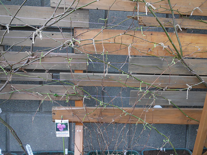 アンドロメダ(早咲き大輪系 パテンス系 新・旧両枝咲き)の鉢植えを誘引した。2021年-003.jpg