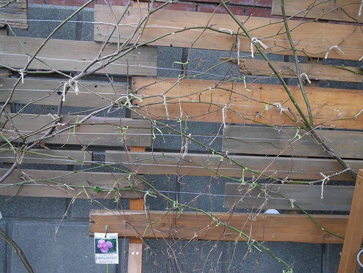 アンドロメダ(早咲き大輪系 パテンス系 新・旧両枝咲き)の鉢植えを誘引した。2021年-004.jpg