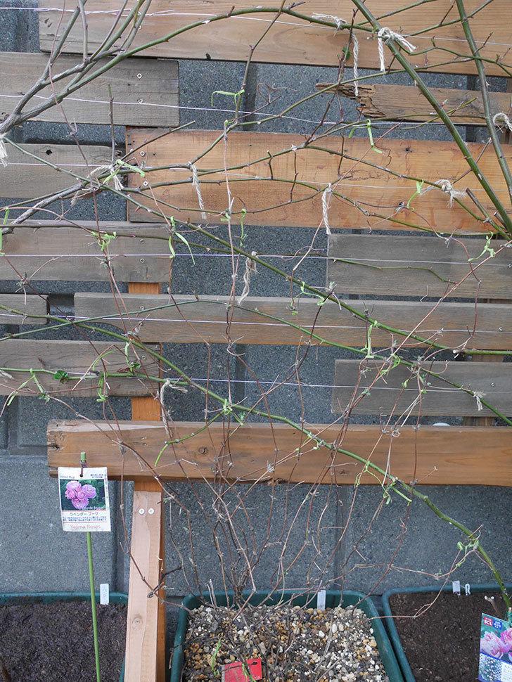 アンドロメダ(早咲き大輪系 パテンス系 新・旧両枝咲き)の鉢植えを誘引した。2021年-005.jpg
