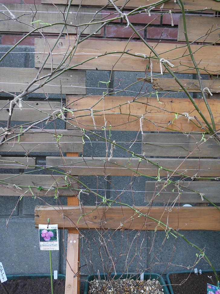 アンドロメダ(早咲き大輪系 パテンス系 新・旧両枝咲き)の鉢植えを誘引した。2021年-006.jpg