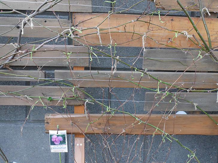 アンドロメダ(早咲き大輪系 パテンス系 新・旧両枝咲き)の鉢植えを誘引した。2021年-007.jpg