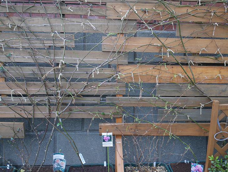 アンドロメダ(早咲き大輪系 パテンス系 新・旧両枝咲き)の鉢植えを誘引した。2021年-009.jpg