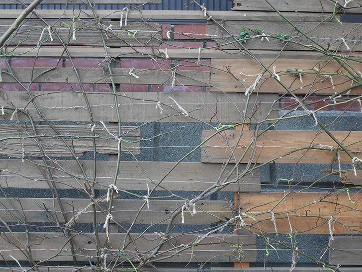 アンドロメダ(早咲き大輪系 パテンス系 新・旧両枝咲き)の鉢植えを誘引した。2021年-010.jpg