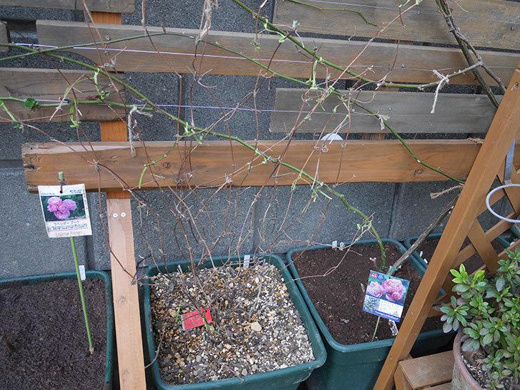 アンドロメダ(早咲き大輪系 パテンス系 新・旧両枝咲き)の鉢植えを誘引した。2021年-011.jpg