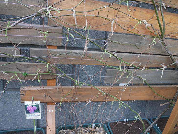 アンドロメダ(早咲き大輪系 パテンス系 新・旧両枝咲き)の鉢植えを誘引した。2021年-012.jpg
