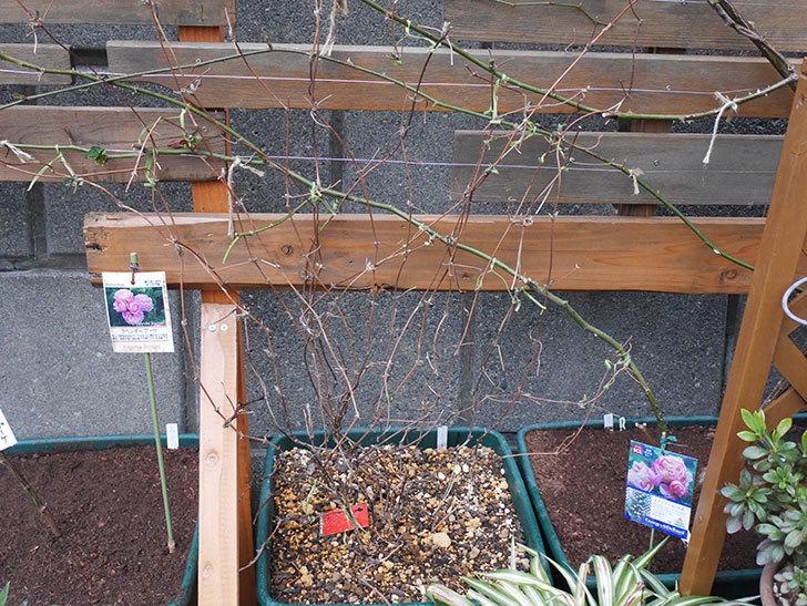 アンドロメダ(早咲き大輪系 パテンス系 新・旧両枝咲き)の鉢植えを誘引した。2021年-013.jpg