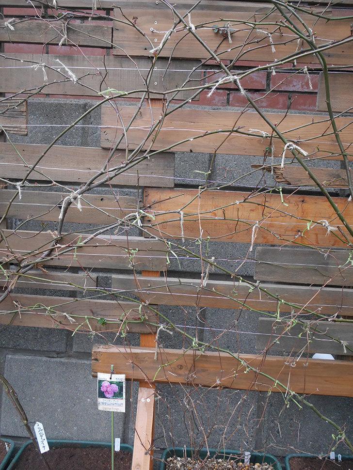アンドロメダ(早咲き大輪系 パテンス系 新・旧両枝咲き)の鉢植えを誘引した。2021年-014.jpg