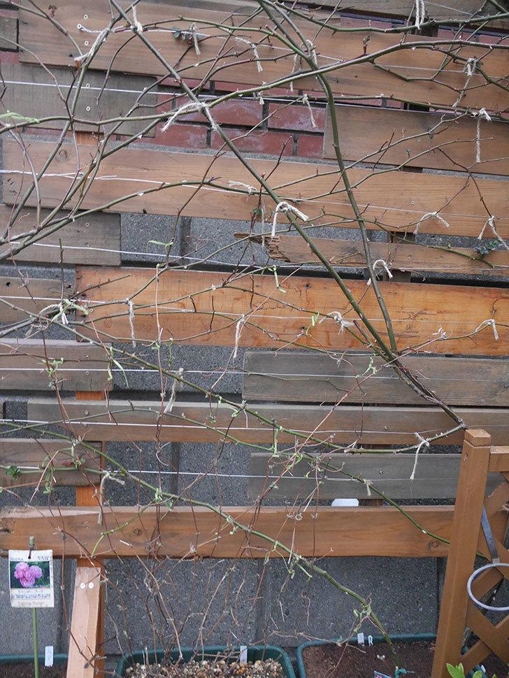 アンドロメダ(早咲き大輪系 パテンス系 新・旧両枝咲き)の鉢植えを誘引した。2021年-015.jpg