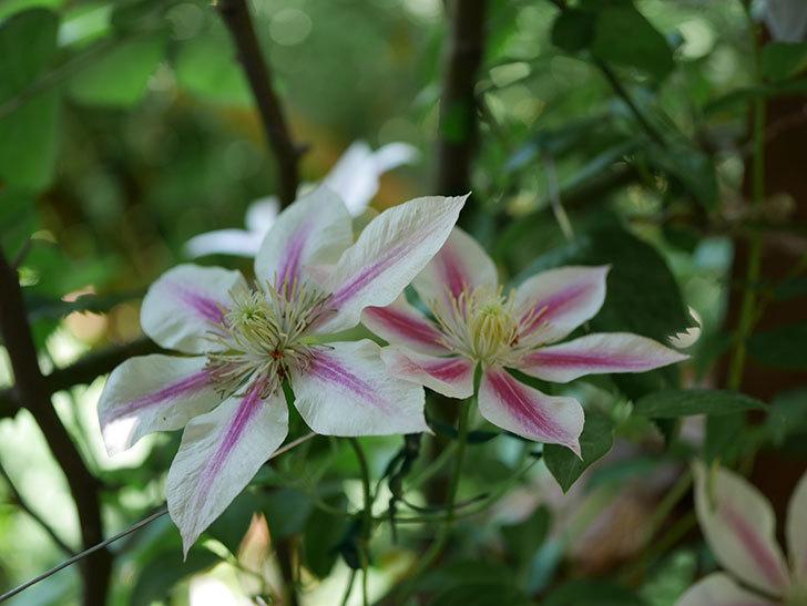 アンドロメダ(早咲き大輪系パテンス系-新旧両枝咲き)の花がたくさん咲いた。2019年-1.jpg