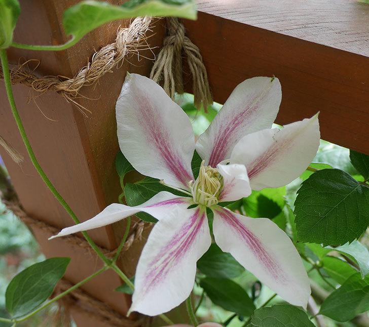 アンドロメダ(早咲き大輪系パテンス系-新旧両枝咲き)の花が咲いた。2019年-1.jpg