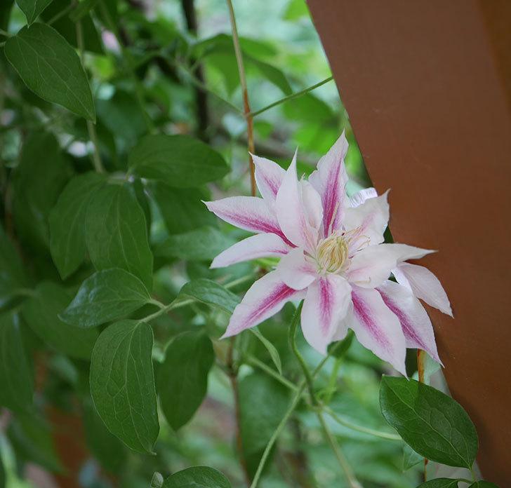 アンドロメダ(早咲き大輪系パテンス系-新旧両枝咲き)の花が増えて来た。2019年-2.jpg