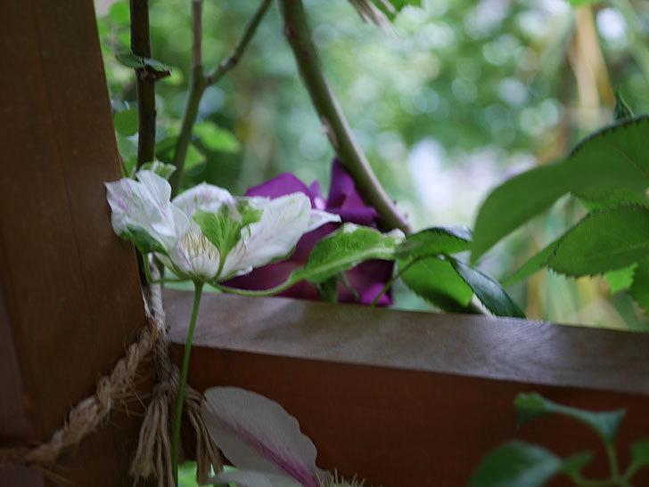 アンドロメダ(早咲き大輪系パテンス系-新旧両枝咲き)の花が増えて来た。2019年-4.jpg