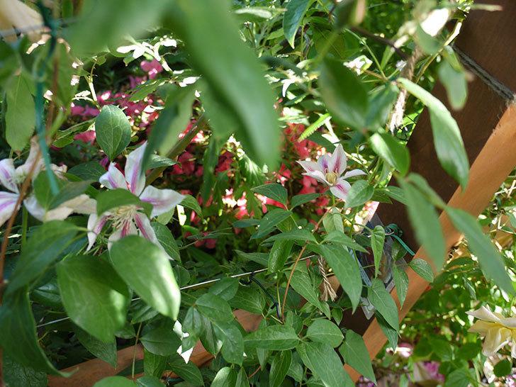 アンドロメダ(早咲き大輪系パテンス系 新旧両枝咲き)がまた咲いた。2017年-4.jpg
