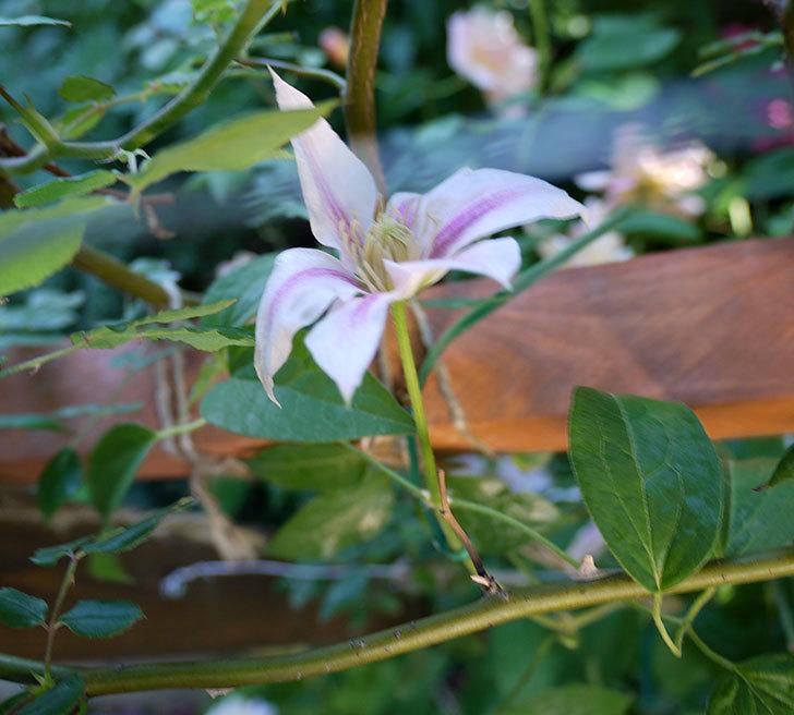 アンドロメダ(早咲き大輪系パテンス系 新旧両枝咲き)がまた咲いた。2017年-5.jpg