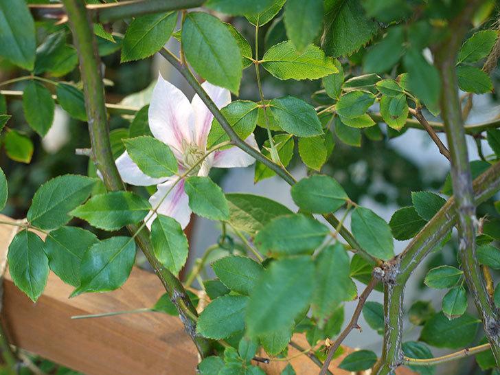 アンドロメダ(早咲き大輪系パテンス系 新旧両枝咲き)がまた咲いた。2017年-6.jpg