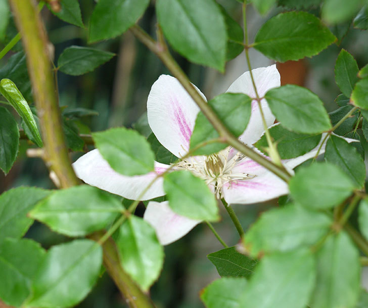 アンドロメダ(早咲き大輪系パテンス系 新旧両枝咲き)の花が増えてきた。2017年-5.jpg