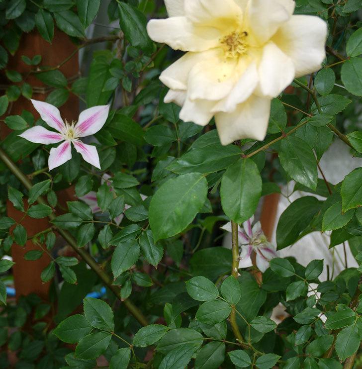 アンドロメダ(早咲き大輪系パテンス系 新旧両枝咲き)の花が増えてきた。2017年-7.jpg