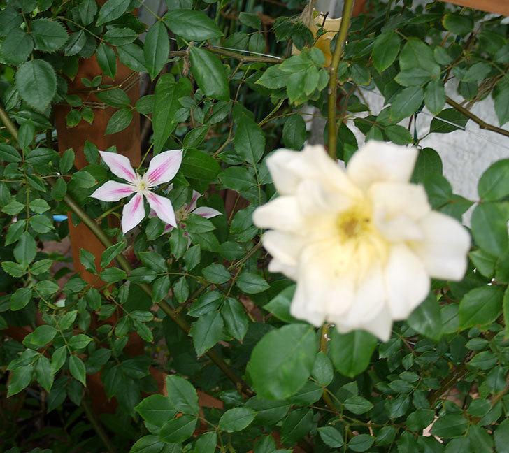 アンドロメダ(早咲き大輪系パテンス系 新旧両枝咲き)の花が増えてきた。2017年-8.jpg