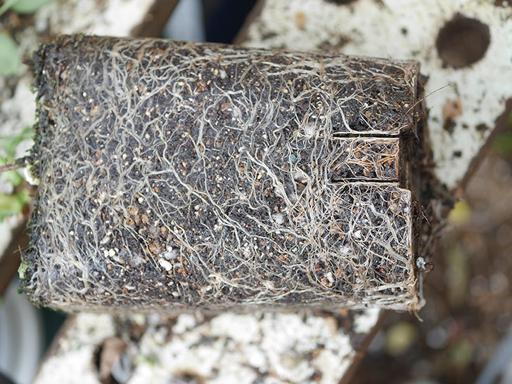 アンナ・フェンディ(Anna Fendi)の新苗を6号ロングスリット鉢に植え換えた。2020年-003.jpg