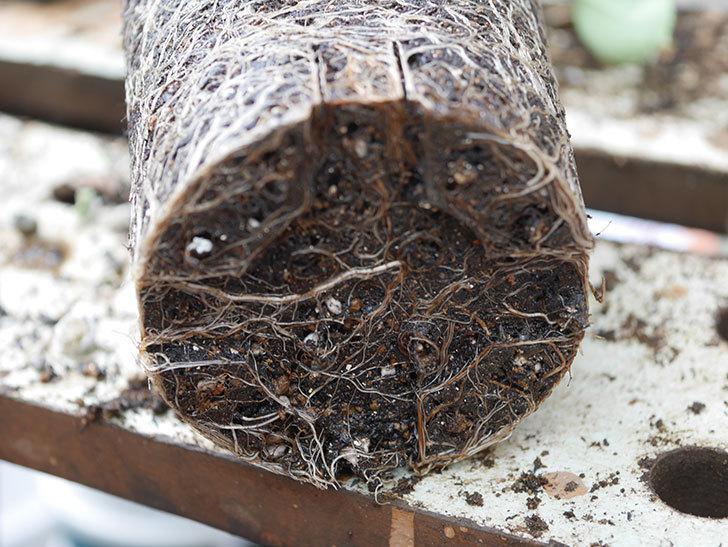 アンナ・フェンディ(Anna Fendi)の新苗を6号ロングスリット鉢に植え換えた。2020年-005.jpg