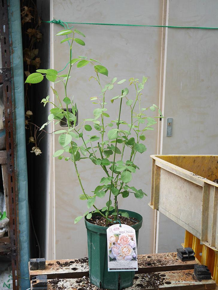 アンナ・フェンディ(Anna Fendi)の新苗を6号ロングスリット鉢に植え換えた。2020年-009.jpg