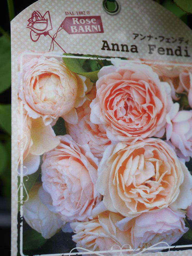 アンナ・フェンディ(Anna Fendi)の新苗をはなはなショップで買った。半ツルバラ。2020年-001.jpg