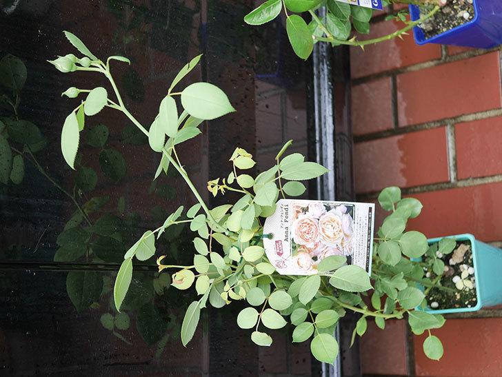 アンナ・フェンディ(Anna Fendi)の新苗をはなはなショップで買った。半ツルバラ。2020年-003.jpg