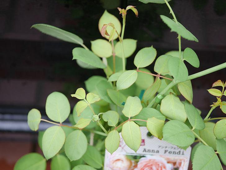アンナ・フェンディ(Anna Fendi)の新苗をはなはなショップで買った。半ツルバラ。2020年-005.jpg