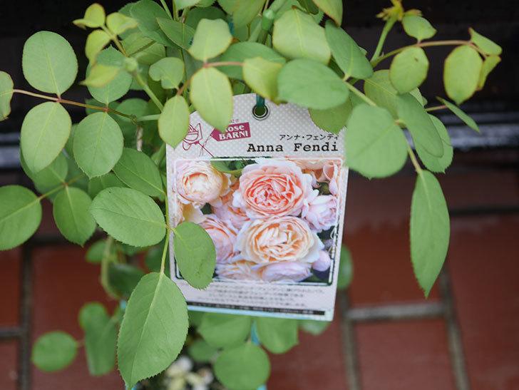アンナ・フェンディ(Anna Fendi)の新苗をはなはなショップで買った。半ツルバラ。2020年-006.jpg