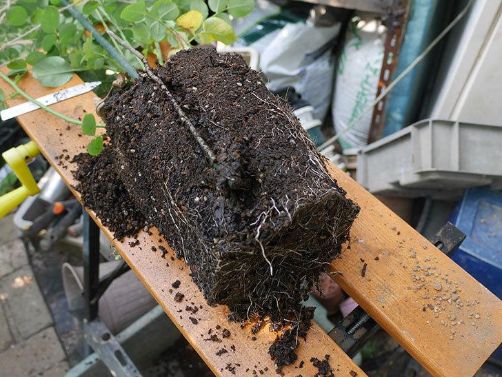 アンナ・フェンディ(Anna Fendi)の新苗を根はり鉢 10号に植え換えた。半ツルバラ。2020年-003.jpg