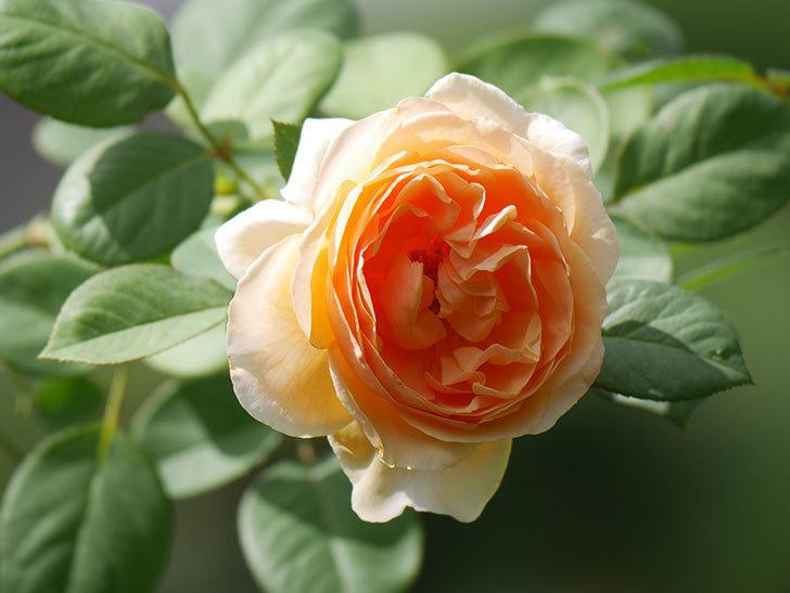 アンナ・フェンディ(Anna Fendi)の秋花が咲いた。半ツルバラ。2020年-004.jpg