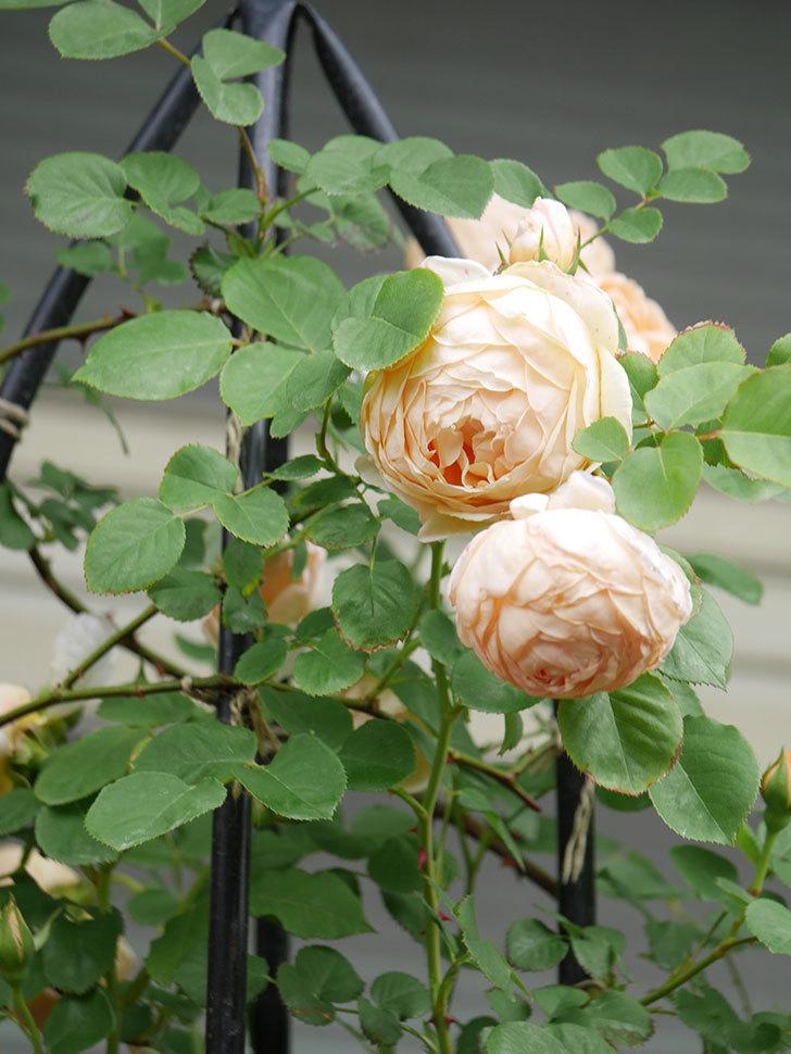 アンナ・フェンディ(Anna Fendi)の花がたくさん咲いた。半ツルバラ。2021年-067.jpg