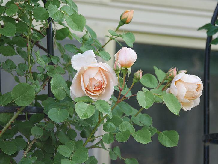 アンナ・フェンディ(Anna Fendi)の花が咲いた。半ツルバラ。2021年-001.jpg