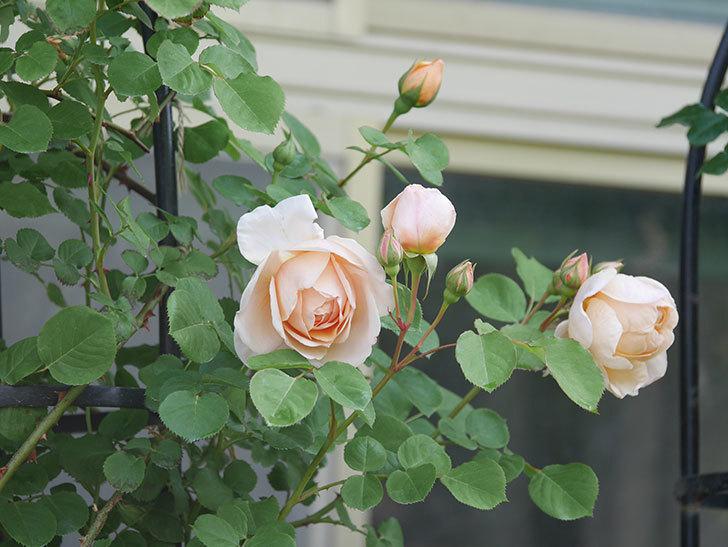 アンナ・フェンディ(Anna Fendi)の花が咲いた。半ツルバラ。2021年-002.jpg