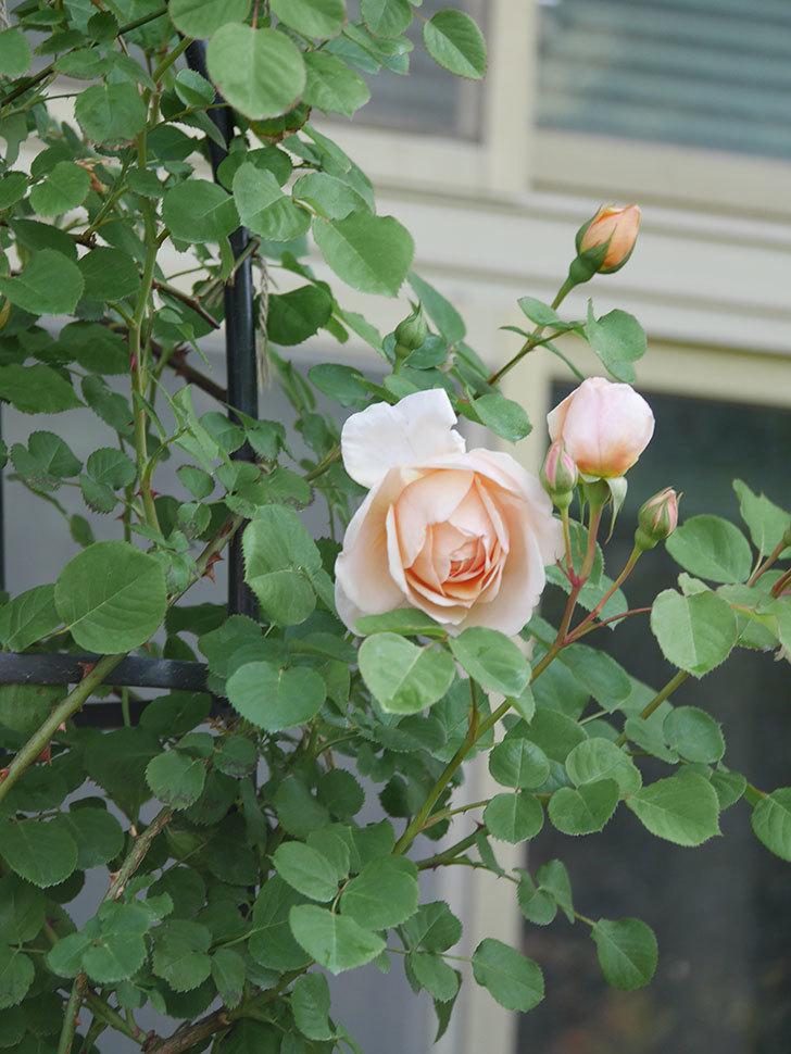 アンナ・フェンディ(Anna Fendi)の花が咲いた。半ツルバラ。2021年-003.jpg