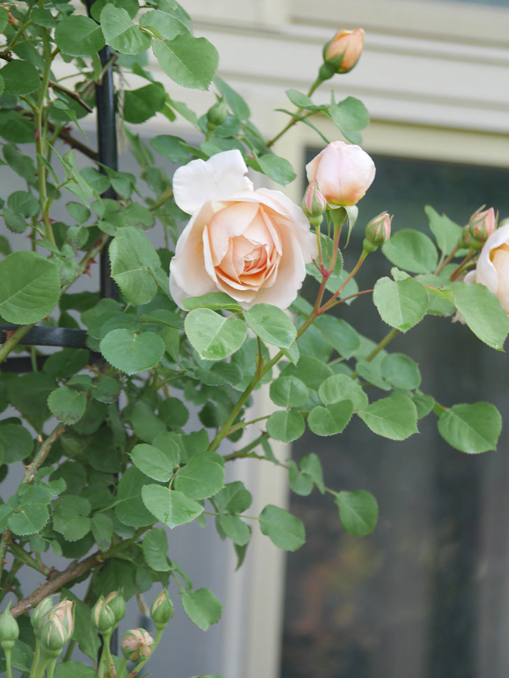 アンナ・フェンディ(Anna Fendi)の花が咲いた。半ツルバラ。2021年-004.jpg