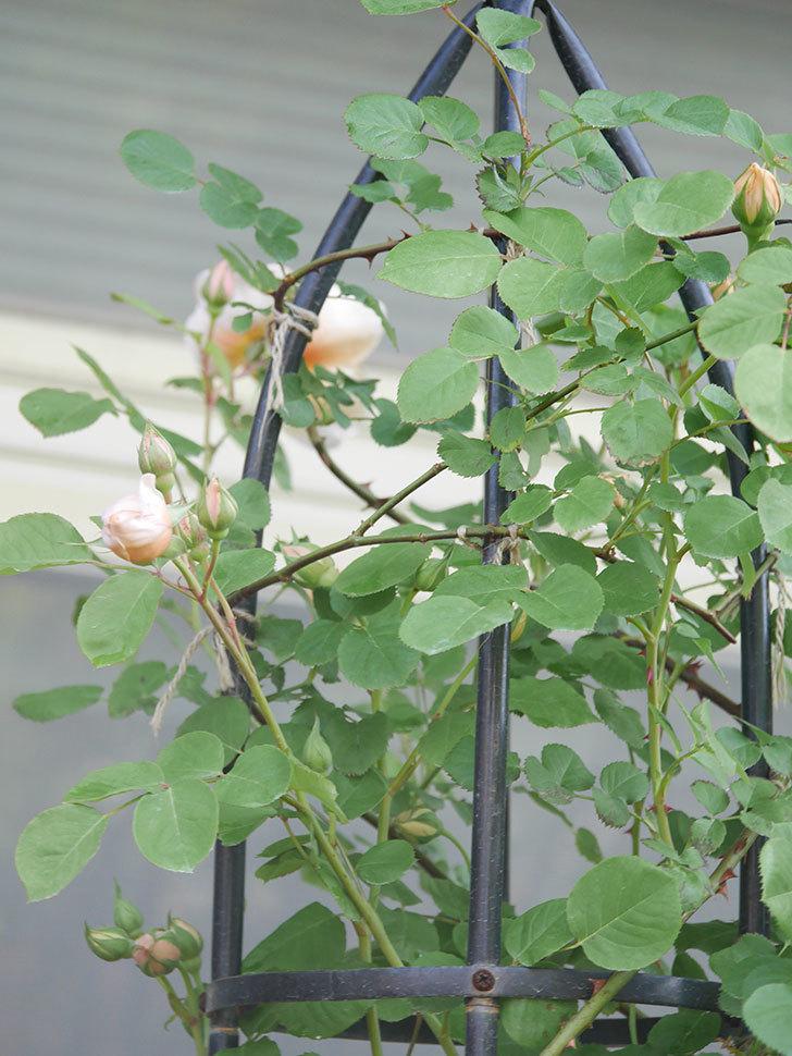 アンナ・フェンディ(Anna Fendi)の花が咲いた。半ツルバラ。2021年-005.jpg