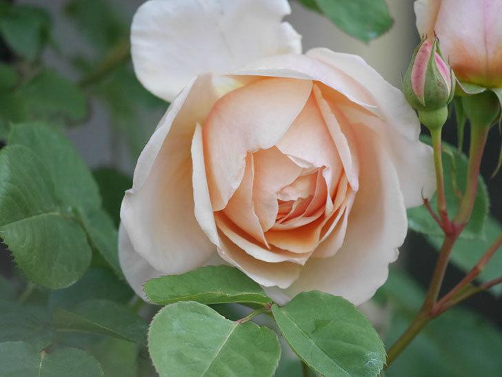 アンナ・フェンディ(Anna Fendi)の花が咲いた。半ツルバラ。2021年-006.jpg