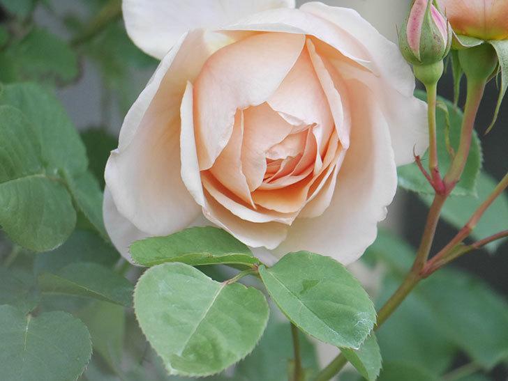 アンナ・フェンディ(Anna Fendi)の花が咲いた。半ツルバラ。2021年-007.jpg